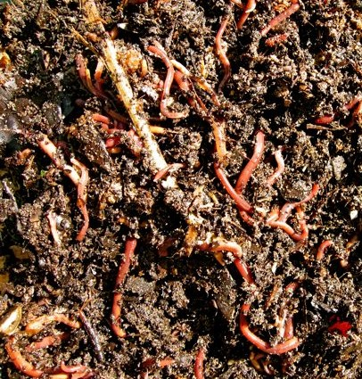 Compost worms.