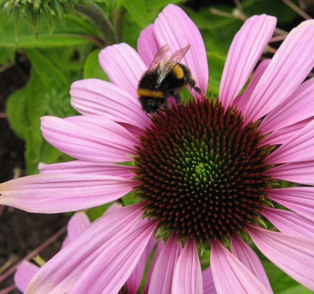 Bumblebee on Echincea purpurea.