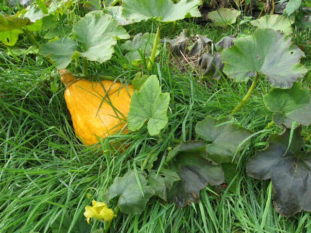 Winter squash ripening at the onset of the first winter frosts.