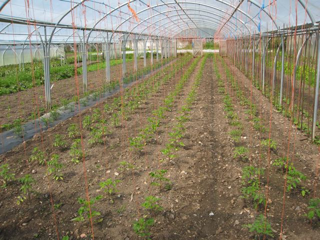 Vegan-organic polytunnel production at Tolhurst Organic Produce.