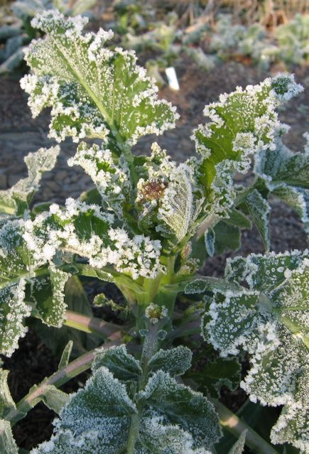 Home-grown sprouting broccoli in frost.