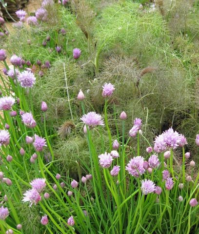 Bronze fennel and chives.