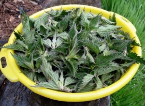 The soft spring shoot tips of perennial stinging nettle (Urtica dioica) can be made into a nutritious soup.