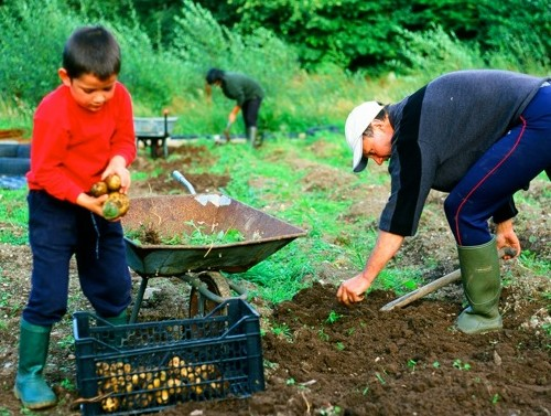 Bryan Dickinson, Jenny Wong and son Cai lifting potatoes in the organic garden at Ynys Uchaf.