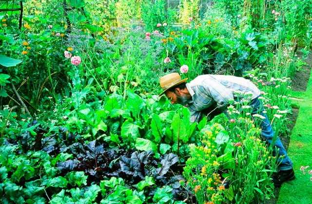 Peter Woollam tending his beds of flowers and vegetables at Hough Garden, near Alderley Edge in Cheshire.
