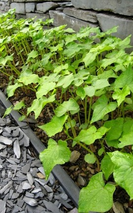 Buckwheat (Fagopyrum esculentum) is a green manure that combines sunlight with carbon dioxide to make roots, shoots and leaves which are used to increase the organic matter in soil.