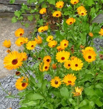 The flat, single flowers of hardy annual pot marigold (Calenedula officinalis) attract a wide range of beneficial insects: bumble and honey, bees, hoverflies and many others.