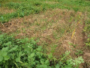 The field trials of the Sárvári Research Trust in August 2008. The brown, dead blocks are potato varieties which have already succumbed to late blight infection. The blocks of healthy green shoots are blight-resistant Sarpo varieties.