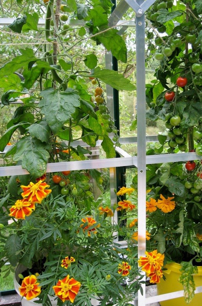 French marigolds attracting hoverflies to a crop of greenhouse tomatoes.