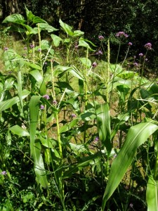 Sweetcorn interplanted with Verbena bonariensis and undersown with buckwheat.