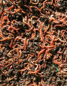 Composting worms removed from a 'cool' recycled plastic compost bin.