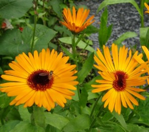 Pot marigold (Calendula officinalis) attracts adult hoverflies and other beneficial garden insects.