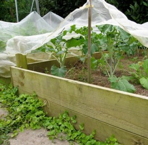 Home-made wooden raised beds built on a budget in an organic kitchen garden.