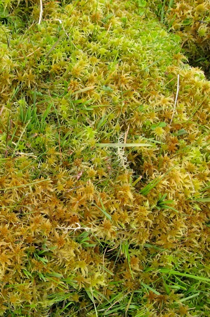 Live sphagnum moss growing on a bog. This living surface of the bog is stripped away to allow the peat beneath it to be mined.