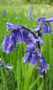 The sweetly-scented bells of the English bluebell (Hyacinthoides non-scripta).