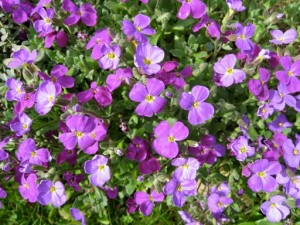 Perennial Aubrieta deltoidea forms low mounds of colourful spring flowers which provide a food source for insects.