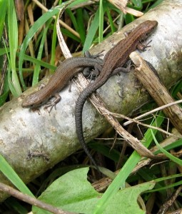 Two young common lizards (Zootoca vivipara) bask in the sun in a wildlife-friendly garden.