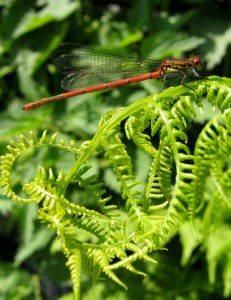 Even a small garden pond will attract beautiful and beneficial insects such as this large red damsel fly (Pyrrhosoma nymphula).