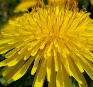 Bright yellow flower of dandelion (Taraxacum officinale) which is a useful insect attractant in spring.