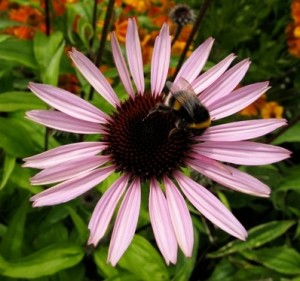 A bumblebee, foraging for nectar and pollen visiting a perennial purple coneflower (Echinacea purpurea) in summer.