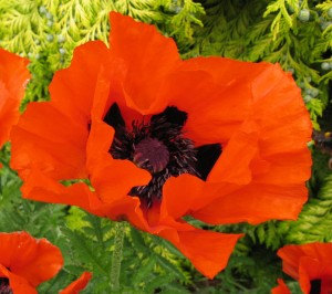 Both honey and bumblebees make noisy visits to the spectacular summer blooms of oriental poppy (Papaver orientalis).