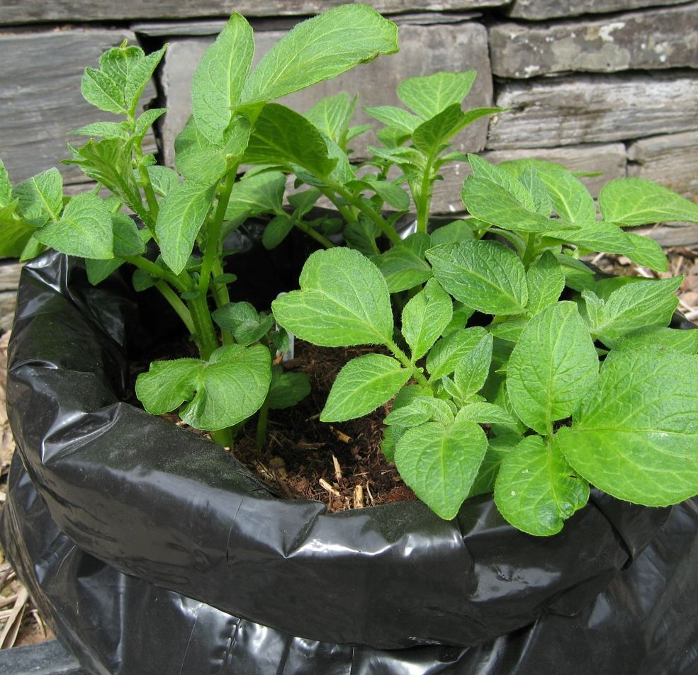 An empty plastic compost bag turned inside out can be used to grow 'early' new potatoes in a greenhouse or porch.