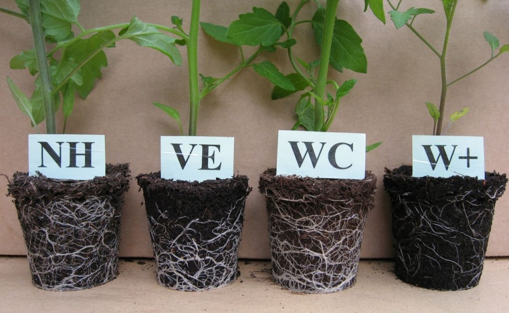 Three 'good' and one 'ugly': tomatoes gave different results when pricked out into a range of peat-free composts. To find out which is which, click on the image.