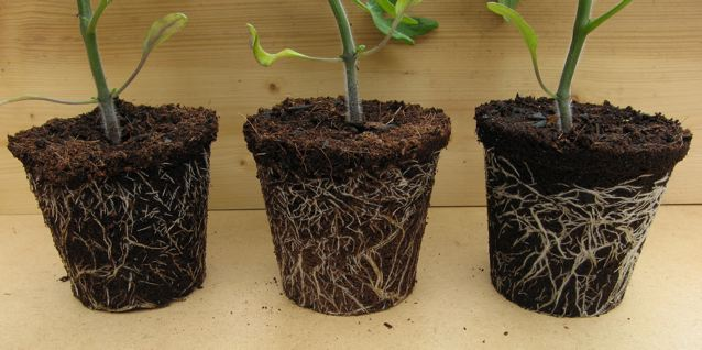Tomato 'Caran' growing in Carbon Gold All Purpose Biochar Compost.