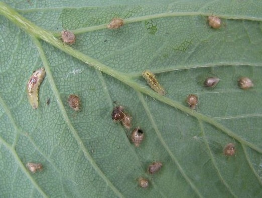 Hoverfly larvae and parasitised aphids.