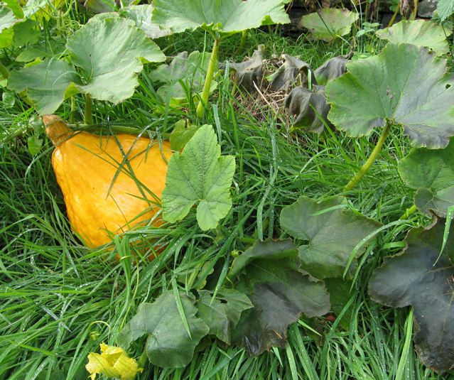 After weeks of rain-stopped-planting delay, my winter squashes finally got planted outdoors, where they sulked for a few more weeks before making final dash for growth – straight into the grip of Jack Frost.