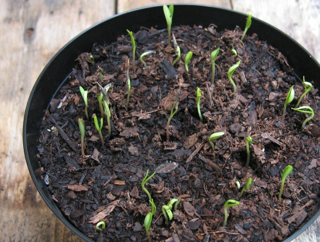 cosmos-sown-in-sylvagrow-peatfree-compost
