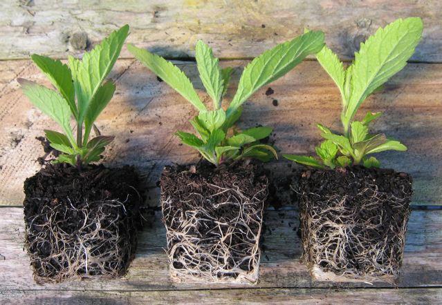 verbena-bonariensis-peat-free-compost