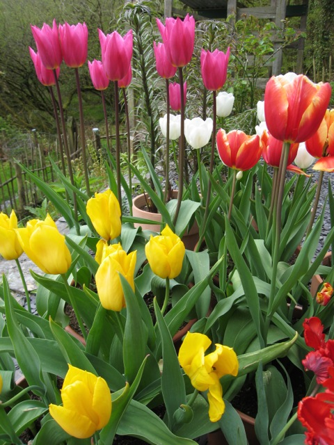 organic-ecobulb-tulips-in-peatfree-compost
