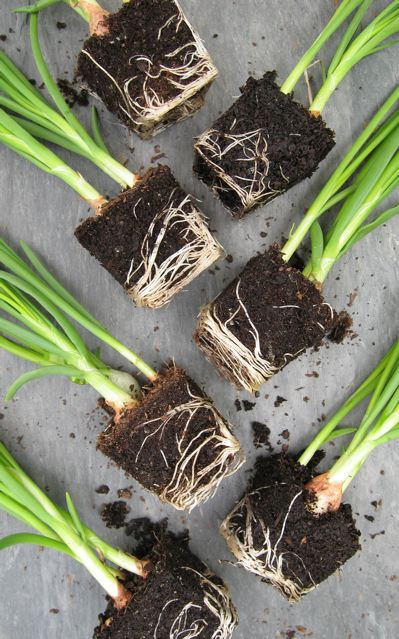 onion-sets-grown-in-peat-free-sylvagrow-compost