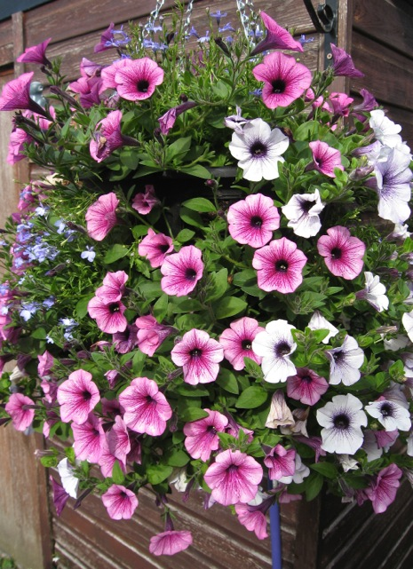 surfinia-petunia-Miracle-Gro-Peat-Free-All-Purpose-Enriched-Compost.