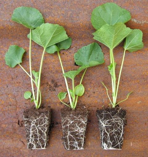 hollyhocks-sylvagrow-peat-free-compost