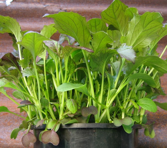 salad-leaves-peat-free-sylvagrow-compost