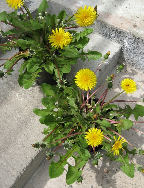 potting-up-dandelions-2