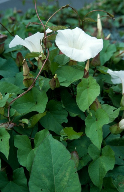 great-bindweed