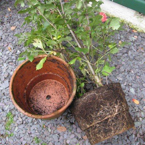 dalefoot-peat-free-wool-compost-dahlia