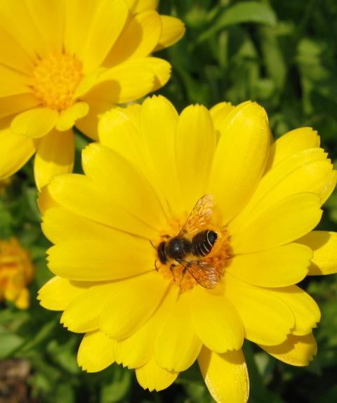 leafcutter-bee-calendula-flowers