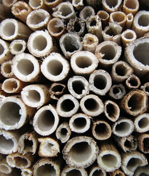 hollow-garden-plant-stems-used-by-solitary-bees-wasps