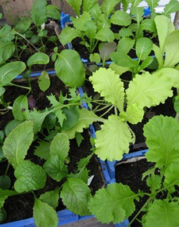 winter-salad-greens-grown-greenhouse-peat-free